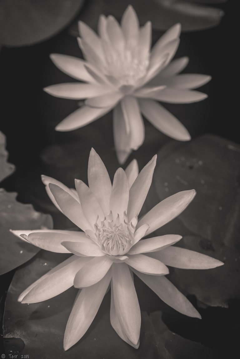 Monochrome waterlilies.
