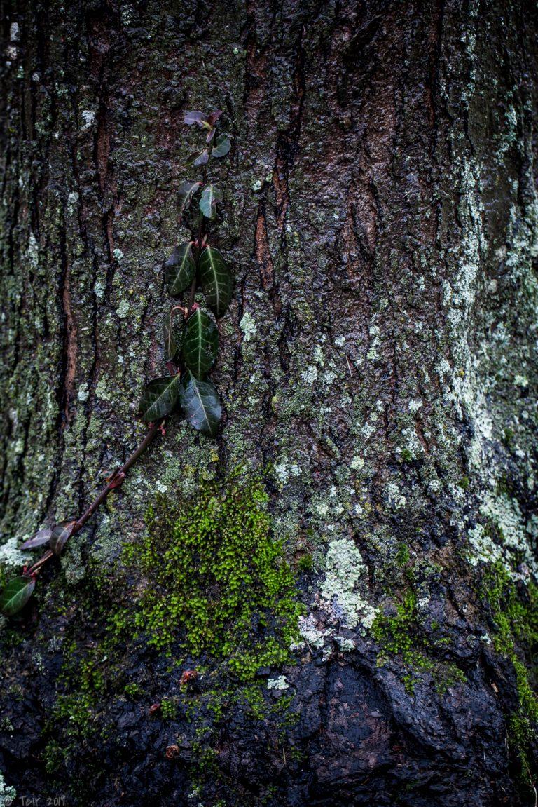 A single creeping vine.