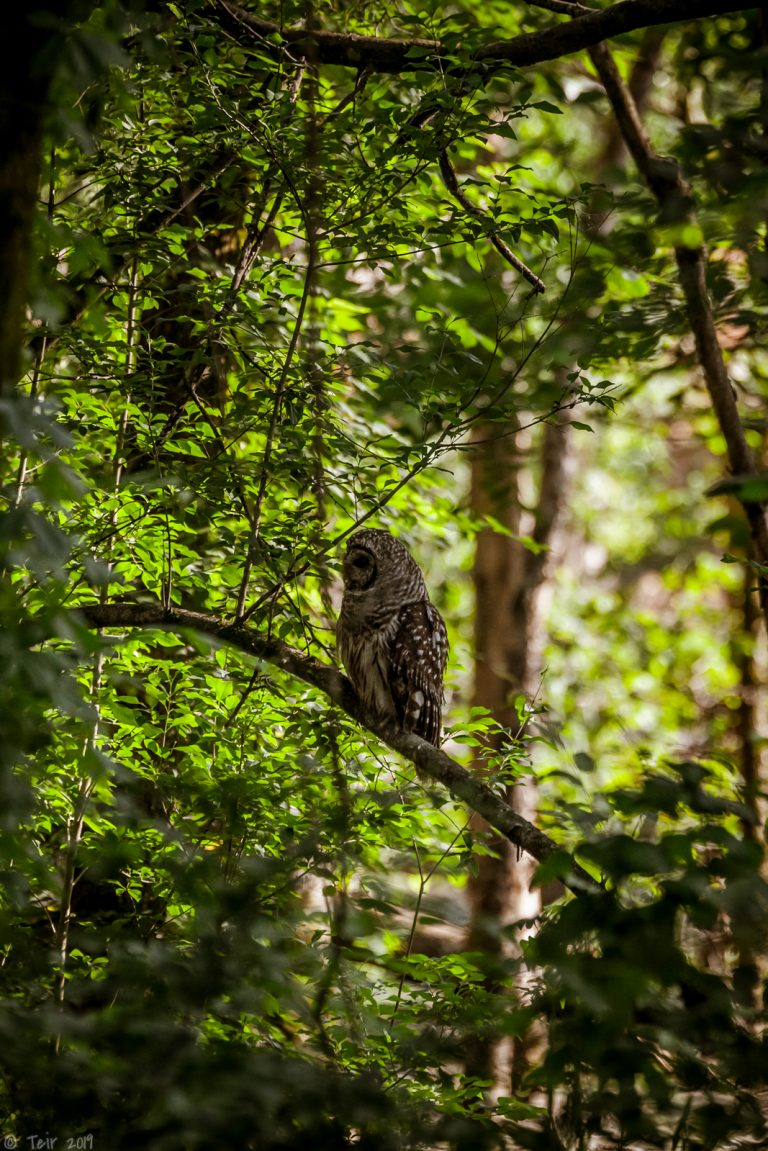 Barred owl in the shade.