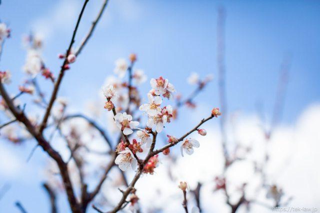 春の訪れ - 庭の梅が満開に