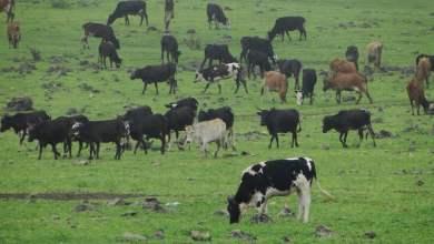 الحيوانات والمواشي في أرياف ظفار تصوم لسبب غريب - تقني نت عمانيات