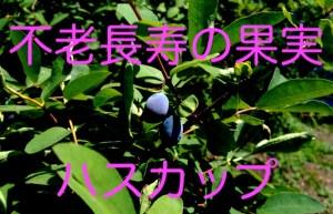 不老長寿の果実ハスカップ