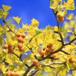 銀杏の実はメスの木にしかならない
