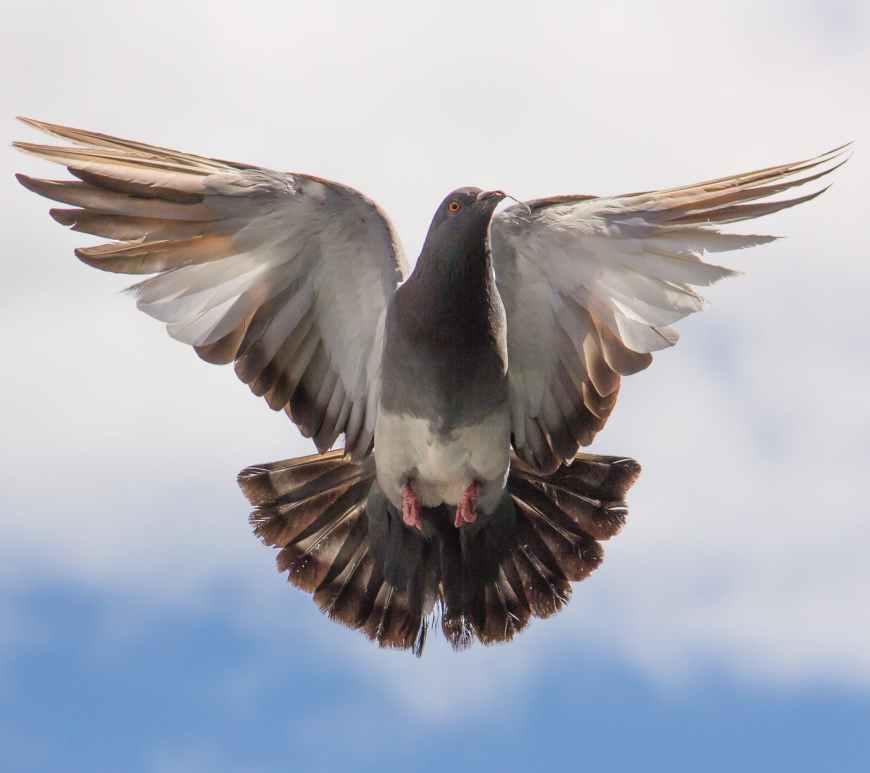 flight pigeon twig