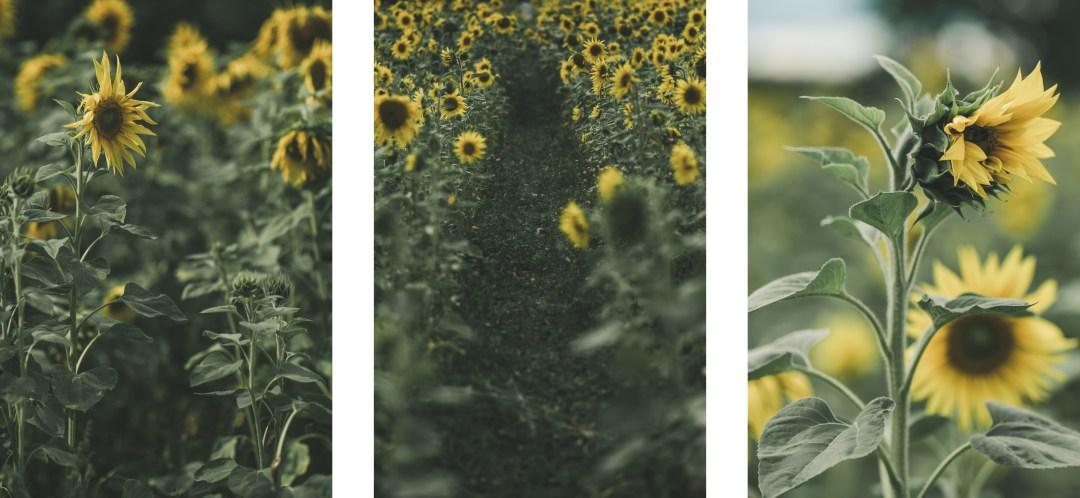 160819_hus30_fotograf_ulrica_hallen_fujifilm_solrosor_xpro2_stillife_lifestyle_sunflowers_autumn-9190