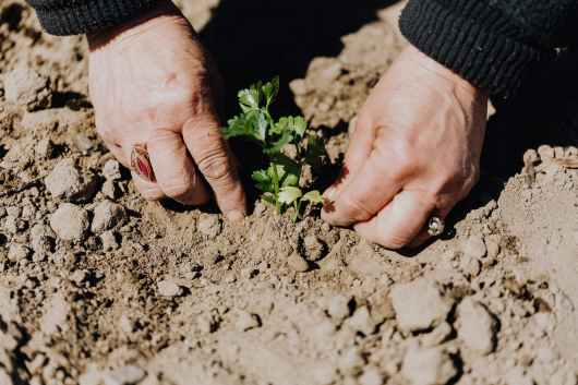 crop anonymous person planting seedling in garden bed