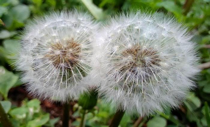 Kvity kulbaby dvi kvitky u travni.