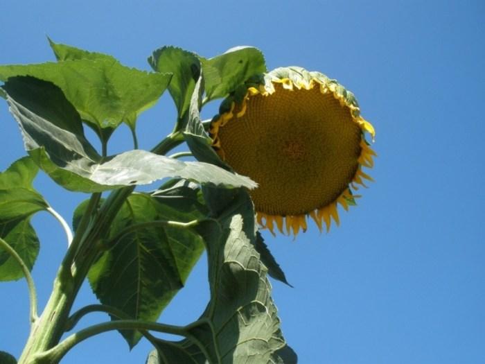 Квітка соняшника на тлі блакитного неба