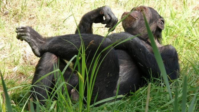 chimpance-memoria-numerica