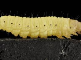 gusano-cera-plastico