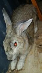 rabbit FB 2