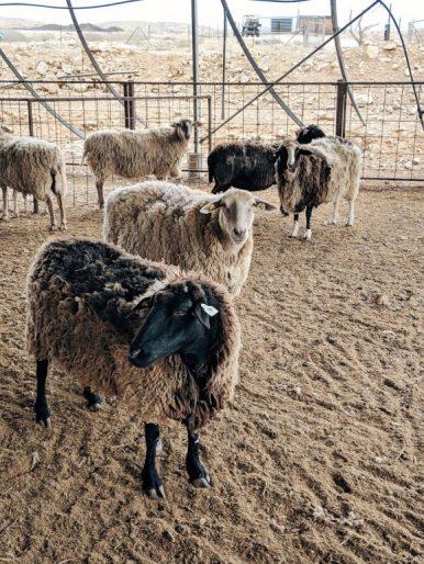 desert capsule hotel concrete tubes israel sheep