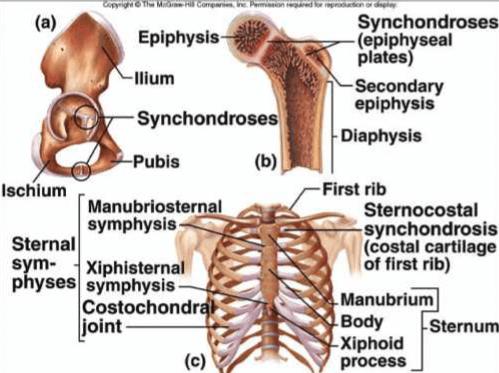 Articulation cartilagineuse