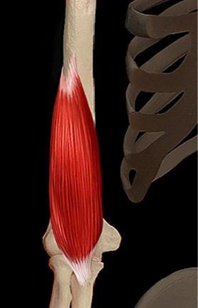 Muscle brachial
