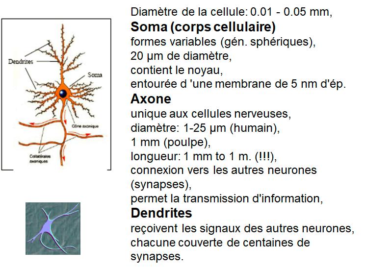 neurone biologique, soma, axone, dendrites