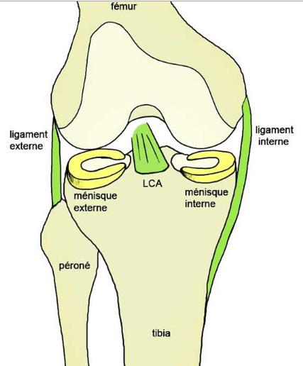 ligament externe ligament interne
