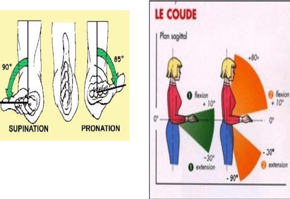 supination pronation du coude articulation du coude