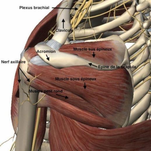 Le muscle supra-épineux