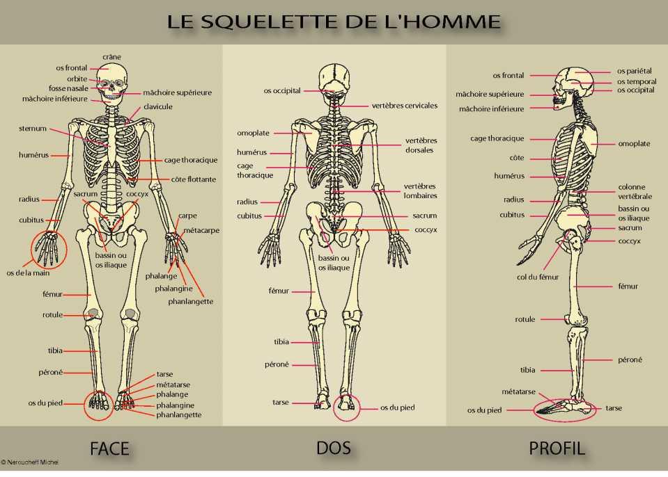 ostéologie humaine squelette de l'homme