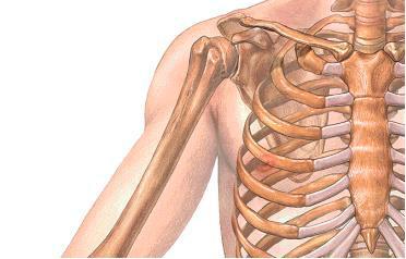 anatomie corps humain OSTEOLOGIE DU MEMBRE THORACIQUE