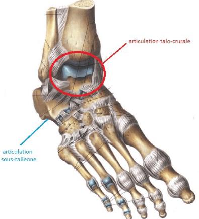 Articulation talo-crurale