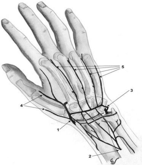 Reseau arteriel dorsal de la main
