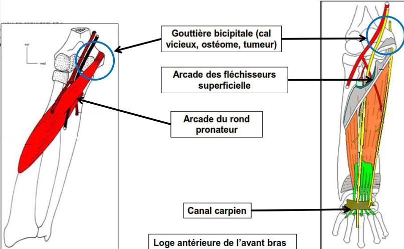 anatomie clinique PAR COMPRESSION au niveau 1