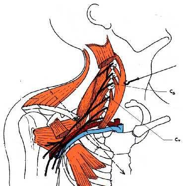 anatomie clinique les atteintes isolee du nerf musculo cutane 1