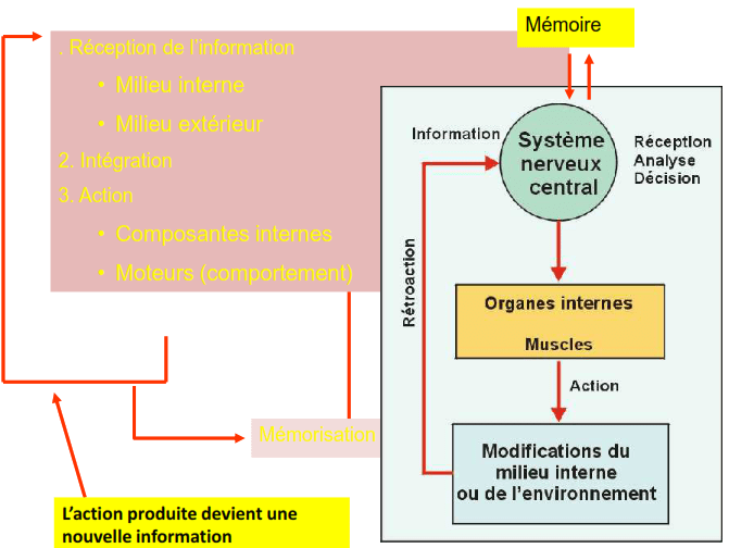 cours anatomie humaine systeme nerveux