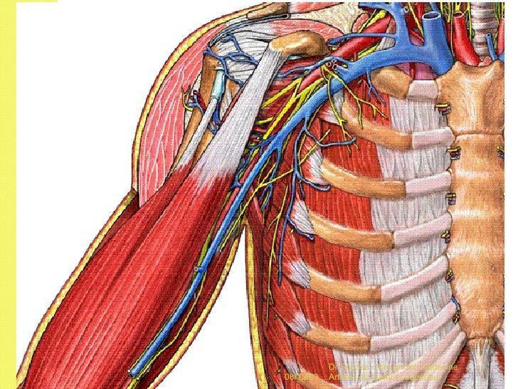 Artère brachiale