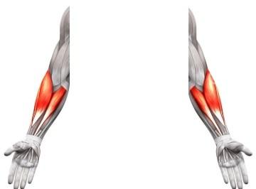 Le squelette de l'avant bras