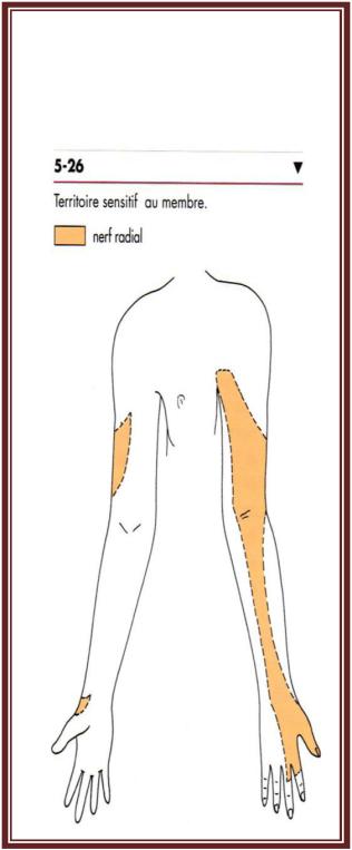 Nerf radial anatomie de l'appareil locomoteur tome 2 Michel Dufour page 344