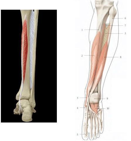 Le muscle long flechisseur des orteils