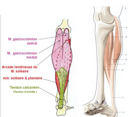 Le muscle triceps sural