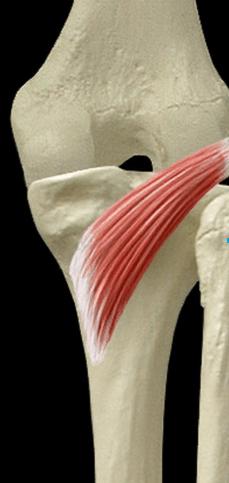 Plan profond Le muscle poplite