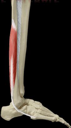 le muscle court fibulaire