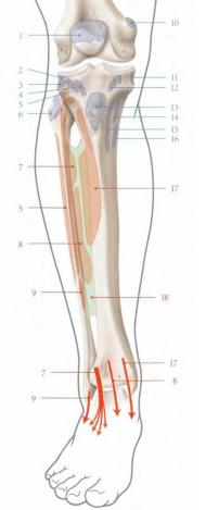 le muscle long extenseur des orteils