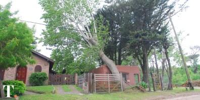 El árbol quedó posado sobre la casa durante varios minutos. (Fotos Ricardo Stinco)