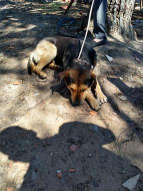 Uno de los perros retenidos, de raza Shar Pei, en participar del ataque
