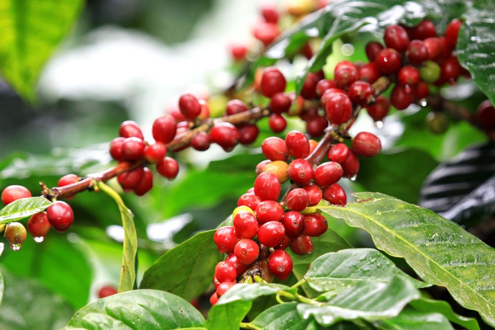 Cultivo del café en Nicaragua podría convertirse en víctima del cambio climático.