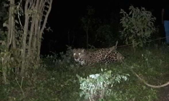 Roban Jaguar de tres meses de nacido de circo en Condega.