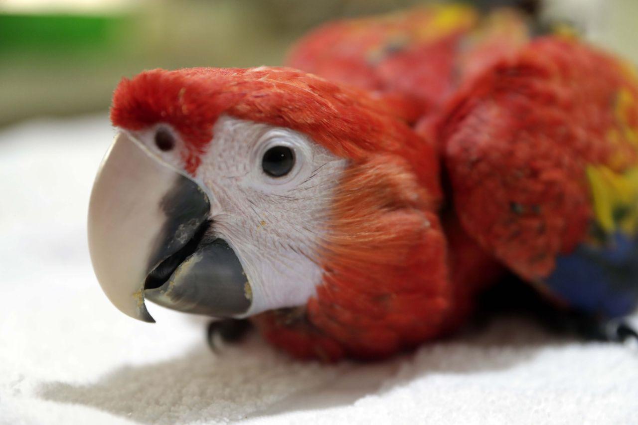 Zoológico de Nicaragua dio bienvenida a guacamaya roja reproducida en cautiverio
