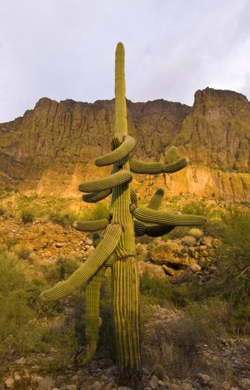 Confused Saguaro