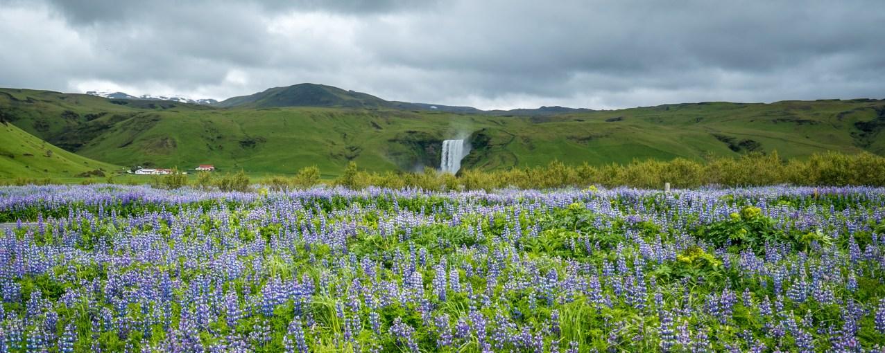 Gulfoss Lupines, Iceland