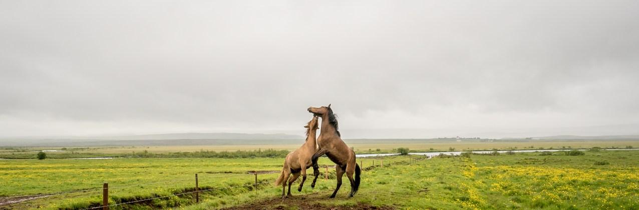 Horses at Play, Iceland