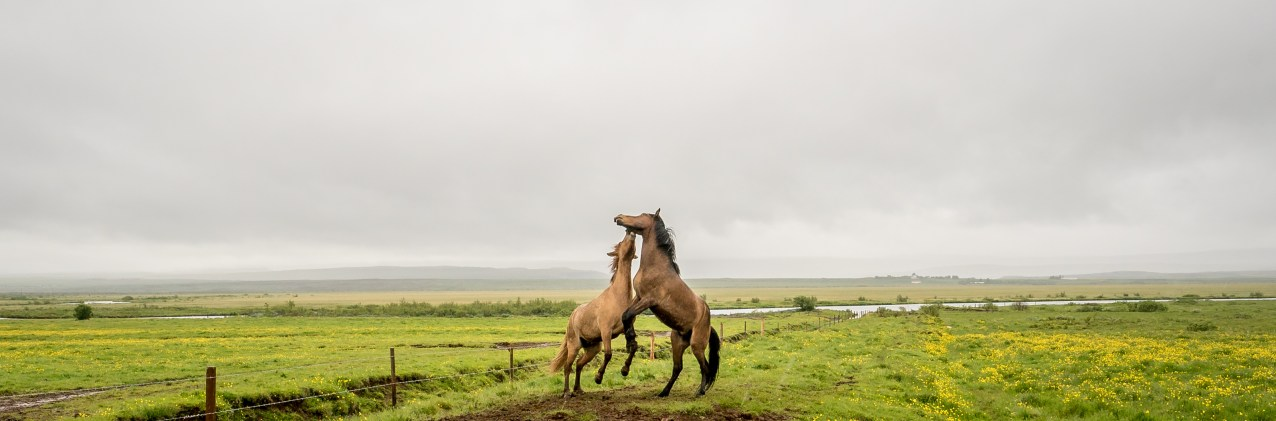 Horses at Play, Iceland