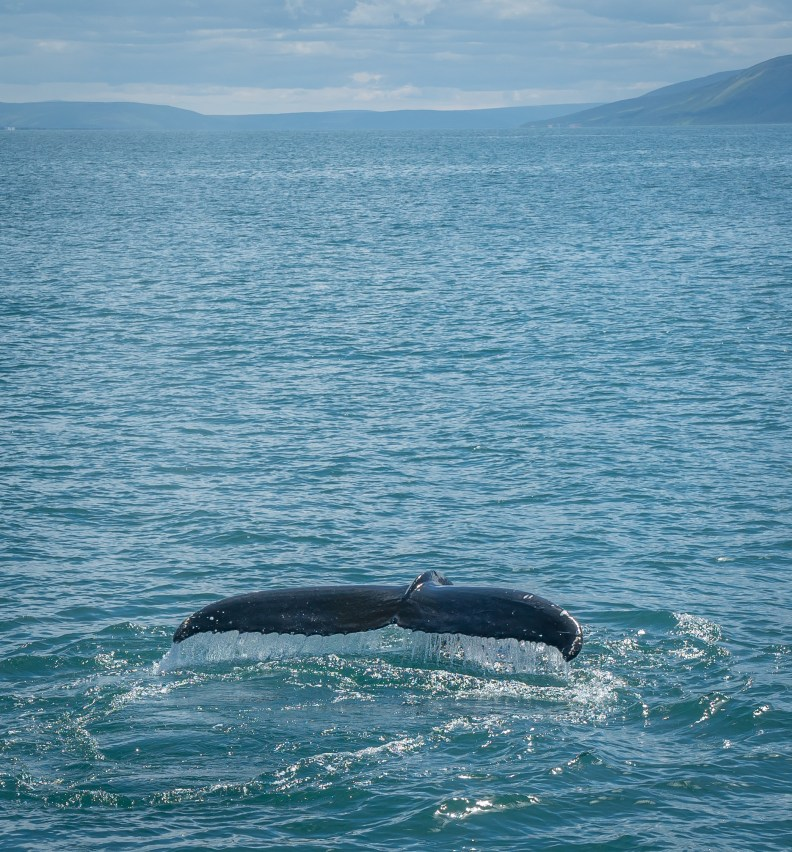 Humpback at Husavik, Iceland