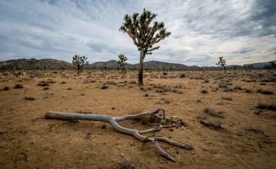 Dead Tree at Joshua Tree National Park, California