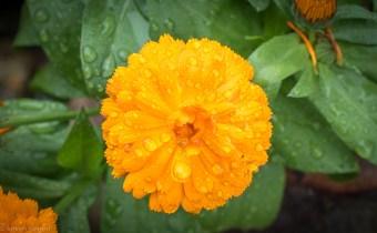 orange-flower2