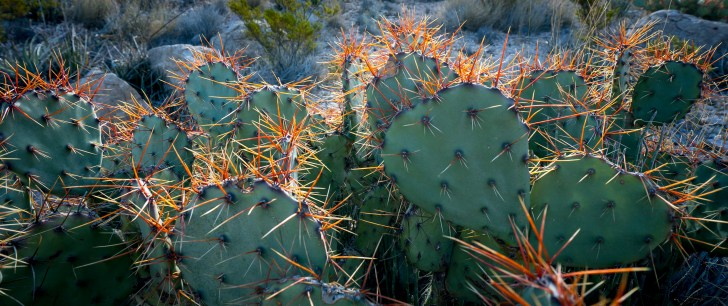 Prickly Pear Red Spines - Big Bend National Park - Texas